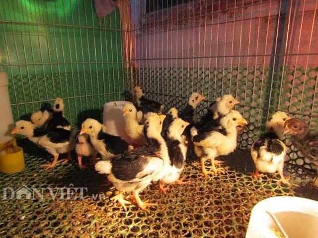 Kỹ sư điện tử bỏ về quê nuôi chim, gà độc, lạ, thu hàng trăm/năm - 4