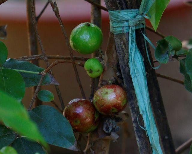 """Bán cây nho lạ có quả mọc từ thân, giá 3 triệu đồng vẫn """"cháy hàng"""" - 3"""