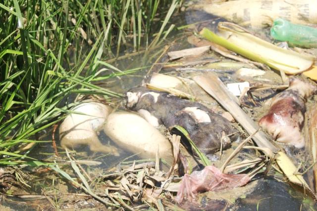 Xác heo chết nổi trên kênh ở Quảng Nam