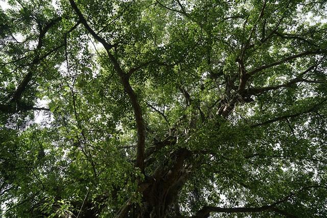 """Tận mắt chiêm ngưỡng độ """"khủng"""" của cây sanh hơn 800 năm tuổi trong phim Ma làng - 10"""