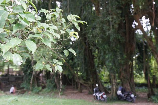 """Tận mắt chiêm ngưỡng độ """"khủng"""" của cây sanh hơn 800 năm tuổi trong phim Ma làng - 11"""