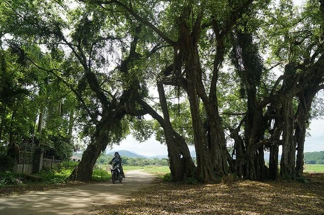 """Tận mắt chiêm ngưỡng độ """"khủng"""" của cây sanh hơn 800 năm tuổi trong phim Ma làng - 4"""