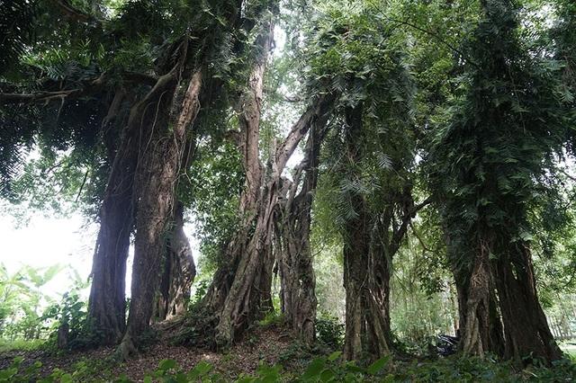 """Tận mắt chiêm ngưỡng độ """"khủng"""" của cây sanh hơn 800 năm tuổi trong phim Ma làng - 5"""