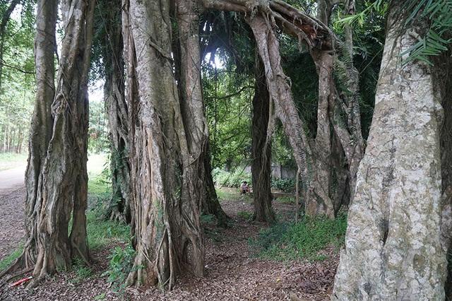 """Tận mắt chiêm ngưỡng độ """"khủng"""" của cây sanh hơn 800 năm tuổi trong phim Ma làng - 6"""