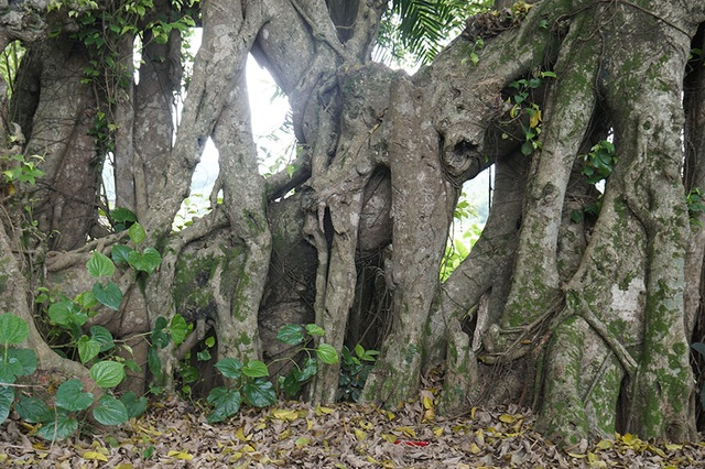 """Tận mắt chiêm ngưỡng độ """"khủng"""" của cây sanh hơn 800 năm tuổi trong phim Ma làng - 7"""