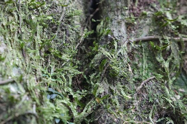 """Tận mắt chiêm ngưỡng độ """"khủng"""" của cây sanh hơn 800 năm tuổi trong phim Ma làng - 8"""