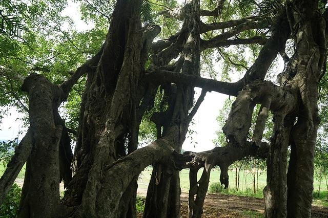 """Tận mắt chiêm ngưỡng độ """"khủng"""" của cây sanh hơn 800 năm tuổi trong phim Ma làng - 9"""