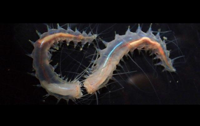 Phát hiện loài giun nhỏ bé có khả năng phát ra âm thanh… lớn nhất trên đại dương - 1