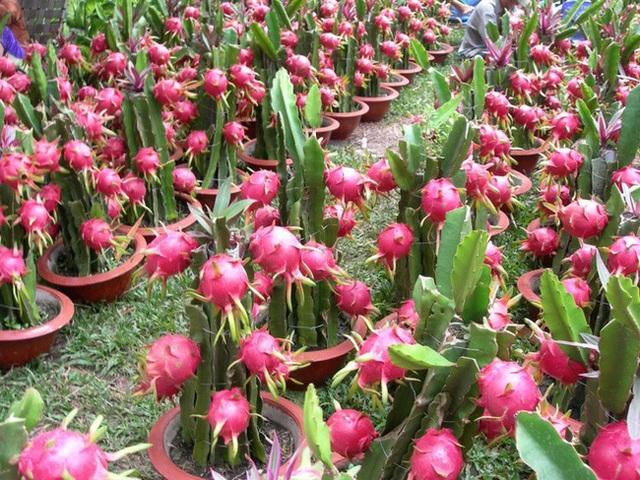Trung Quốc tăng nhập chính ngạch, người trồng thanh long Bình Thuận thu lãi 200 triệu đồng/ha - 1