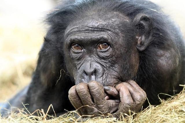 Vì sao không phải loài linh trưởng nào cũng tiến hóa thành người? - 1