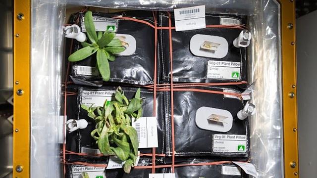 NASA công bố cây ăn quả đầu tiên sẽ được trồng trên trạm ISS - 1