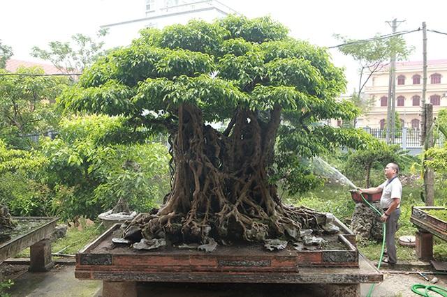 Sanh cổ có rễ như củ nhân sâm, khách trả 100 cây vàng chủ nhân vẫn lắc đầu - 1
