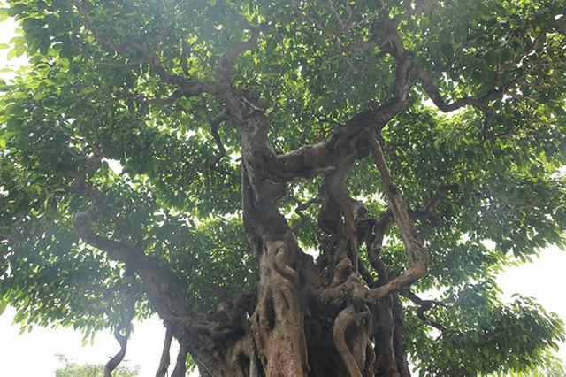 Sanh cổ có rễ như củ nhân sâm, khách trả 100 cây vàng chủ nhân vẫn lắc đầu - 12