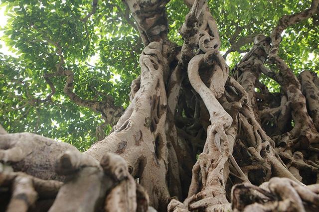Sanh cổ có rễ như củ nhân sâm, khách trả 100 cây vàng chủ nhân vẫn lắc đầu - 13