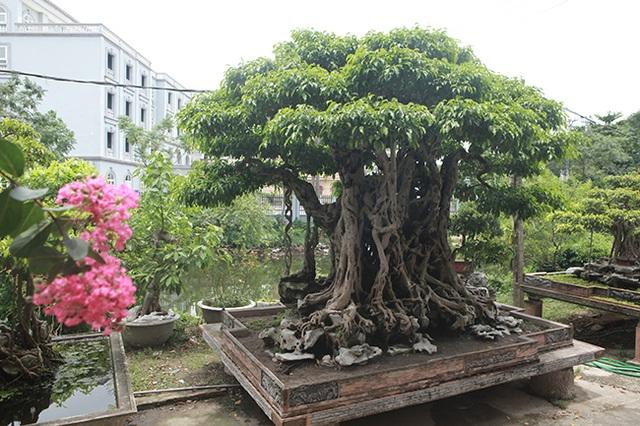 Sanh cổ có rễ như củ nhân sâm, khách trả 100 cây vàng chủ nhân vẫn lắc đầu - 16