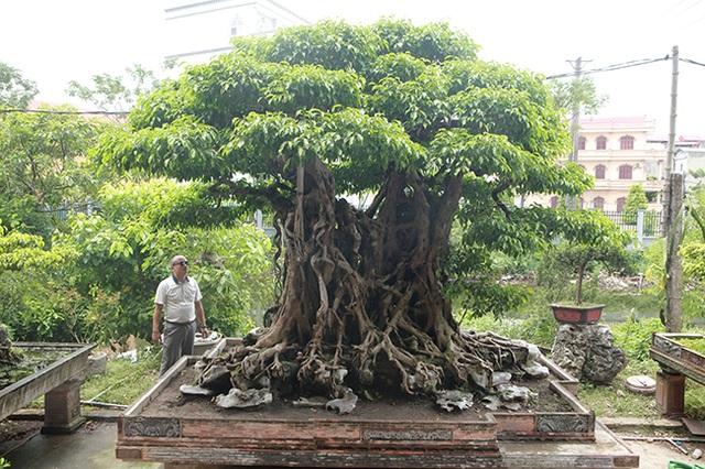Sanh cổ có rễ như củ nhân sâm, khách trả 100 cây vàng chủ nhân vẫn lắc đầu - 19