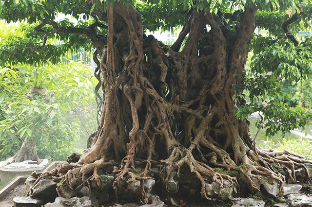 Sanh cổ có rễ như củ nhân sâm, khách trả 100 cây vàng chủ nhân vẫn lắc đầu - 3