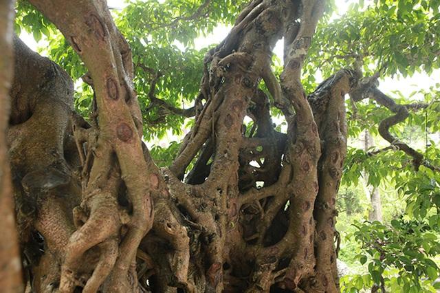 Sanh cổ có rễ như củ nhân sâm, khách trả 100 cây vàng chủ nhân vẫn lắc đầu - 5
