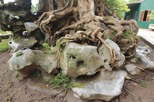 Sanh cổ có rễ như củ nhân sâm, khách trả 100 cây vàng chủ nhân vẫn lắc đầu - 6