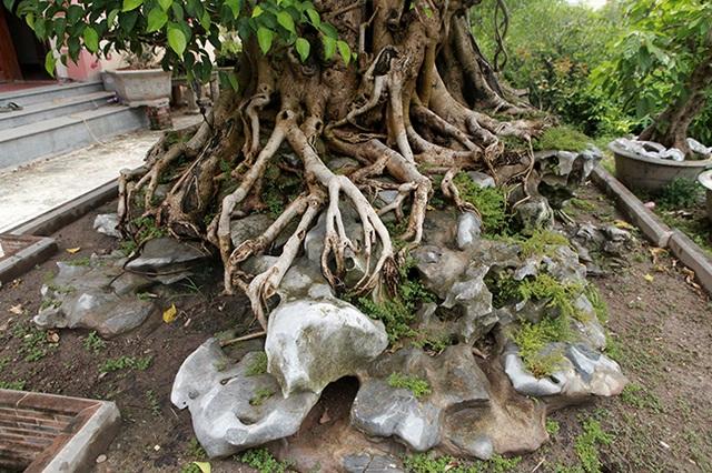 Sanh cổ có rễ như củ nhân sâm, khách trả 100 cây vàng chủ nhân vẫn lắc đầu - 7
