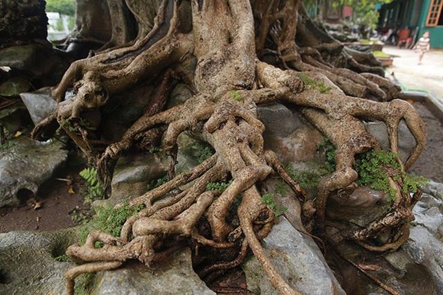 Sanh cổ có rễ như củ nhân sâm, khách trả 100 cây vàng chủ nhân vẫn lắc đầu - 8
