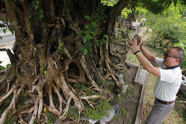 Sanh cổ có rễ như củ nhân sâm, khách trả 100 cây vàng chủ nhân vẫn lắc đầu - 9