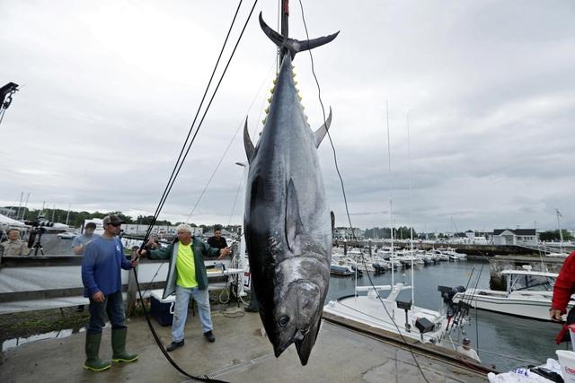 Vì sao cá ngừ vây xanh có giá lên tới hàng chục tỷ đồng?  - 2