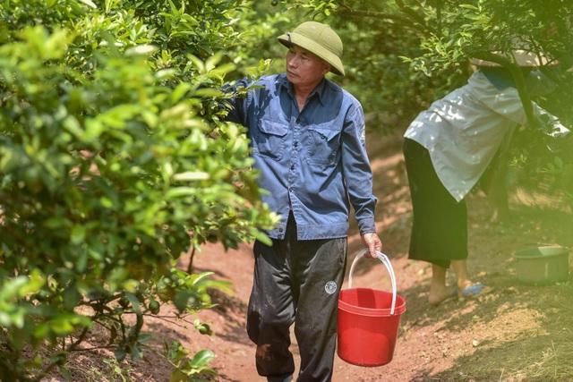 Đột nhập vườn chanh tứ quý trồng trên gốc bưởi, thu về 5 tỷ đồng/năm - 4