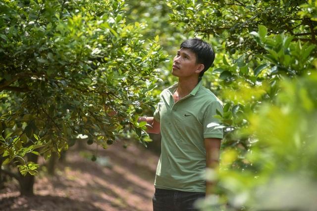 Đột nhập vườn chanh tứ quý trồng trên gốc bưởi, thu về 5 tỷ đồng/năm - 1
