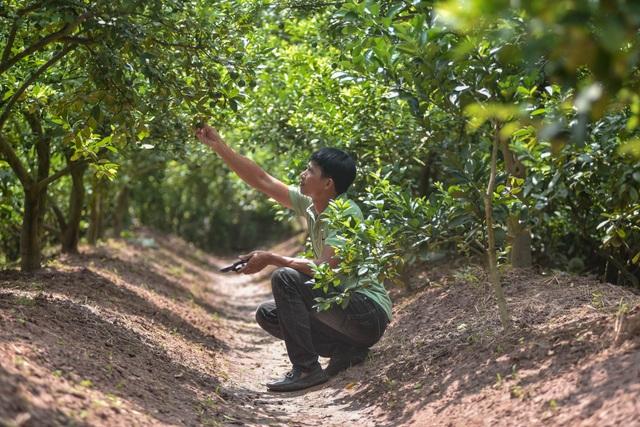 Đột nhập vườn chanh tứ quý trồng trên gốc bưởi, thu về 5 tỷ đồng/năm - 8