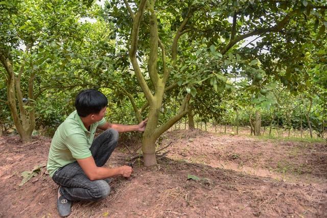 Đột nhập vườn chanh tứ quý trồng trên gốc bưởi, thu về 5 tỷ đồng/năm - 7