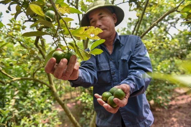 Đột nhập vườn chanh tứ quý trồng trên gốc bưởi, thu về 5 tỷ đồng/năm - 2