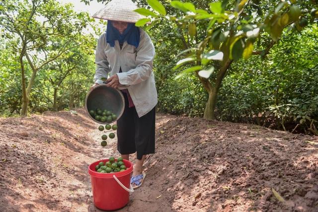 Đột nhập vườn chanh tứ quý trồng trên gốc bưởi, thu về 5 tỷ đồng/năm - 10