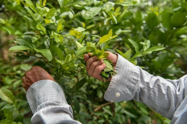 Đột nhập vườn chanh tứ quý trồng trên gốc bưởi, thu về 5 tỷ đồng/năm - 11