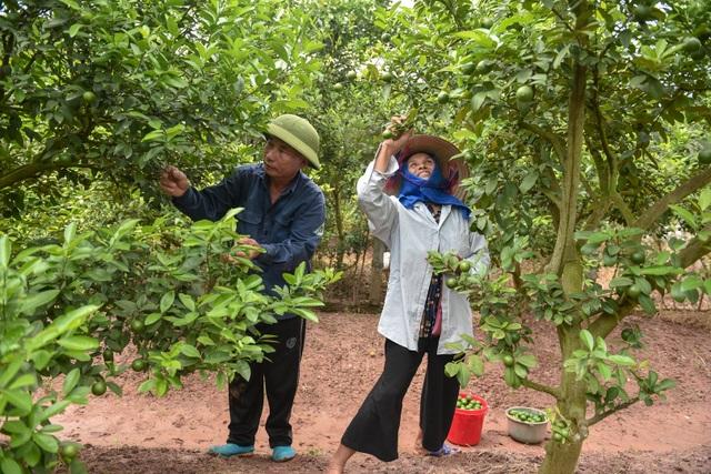 Đột nhập vườn chanh tứ quý trồng trên gốc bưởi, thu về 5 tỷ đồng/năm - 6