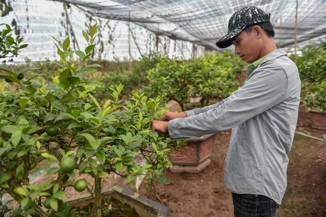 Đột nhập vườn chanh tứ quý trồng trên gốc bưởi, thu về 5 tỷ đồng/năm - 12