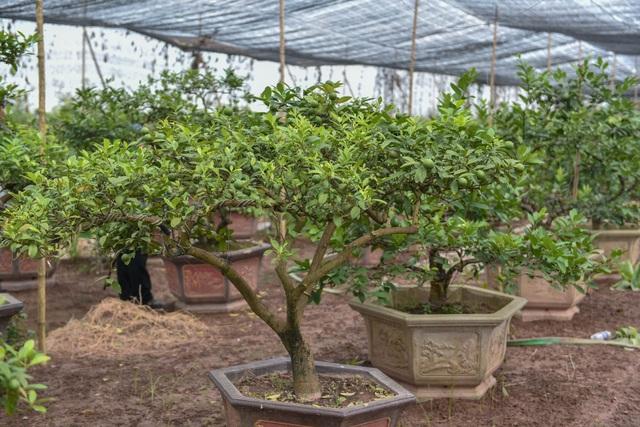 Đột nhập vườn chanh tứ quý trồng trên gốc bưởi, thu về 5 tỷ đồng/năm - 14