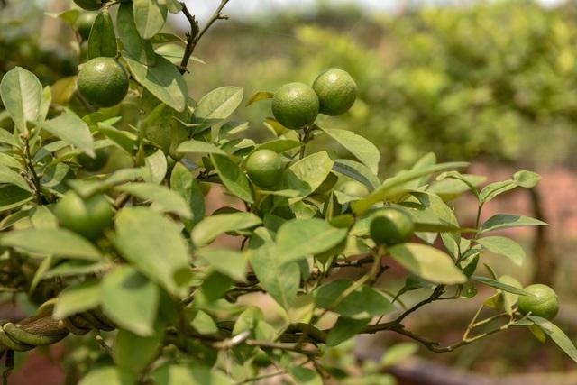 Đột nhập vườn chanh tứ quý trồng trên gốc bưởi, thu về 5 tỷ đồng/năm - 13