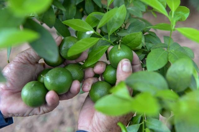 Đột nhập vườn chanh tứ quý trồng trên gốc bưởi, thu về 5 tỷ đồng/năm - 9