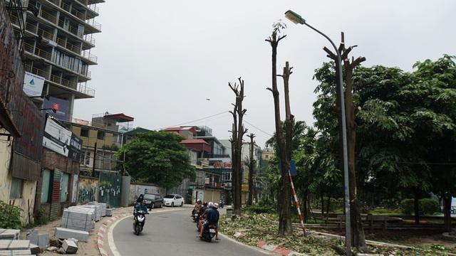 Hàng trăm cây hoa sữa ở Hà Nội bất ngờ bị chặt cành, cưa ngọn - 1