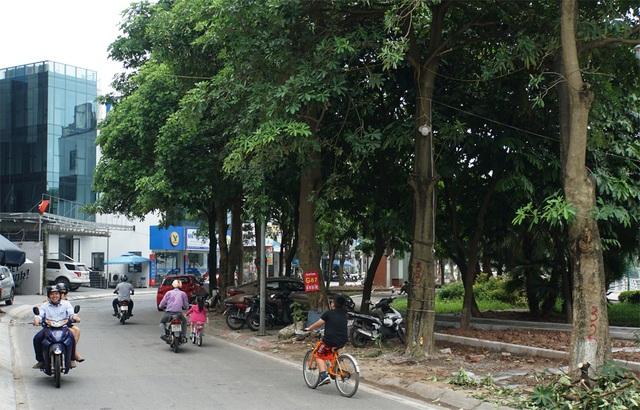 Hàng trăm cây hoa sữa ở Hà Nội bất ngờ bị chặt cành, cưa ngọn - 11