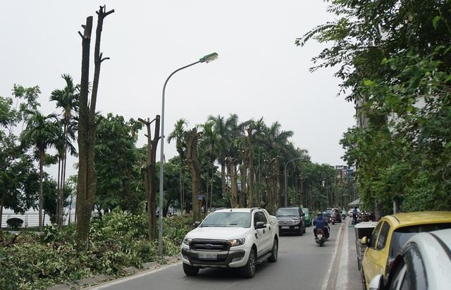Hàng trăm cây hoa sữa ở Hà Nội bất ngờ bị chặt cành, cưa ngọn - 2