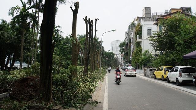 Hàng trăm cây hoa sữa ở Hà Nội bất ngờ bị chặt cành, cưa ngọn - 3