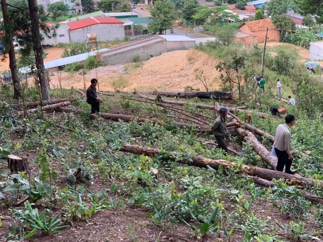 Ngang nhiên mang cưa máy triệt hạ rừng thông để chiếm đất - 2