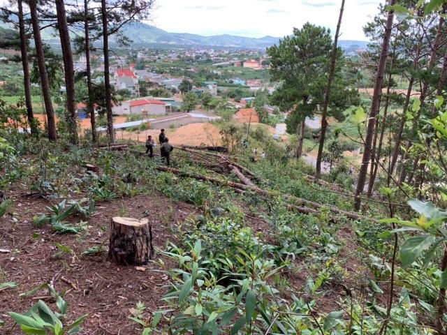 Ngang nhiên mang cưa máy triệt hạ rừng thông để chiếm đất - 3