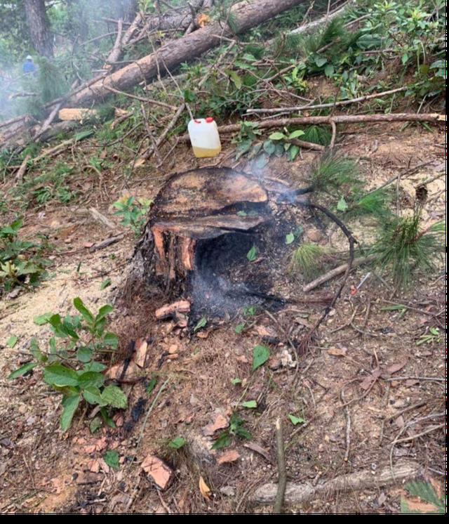 Ngang nhiên mang cưa máy triệt hạ rừng thông để chiếm đất - 4