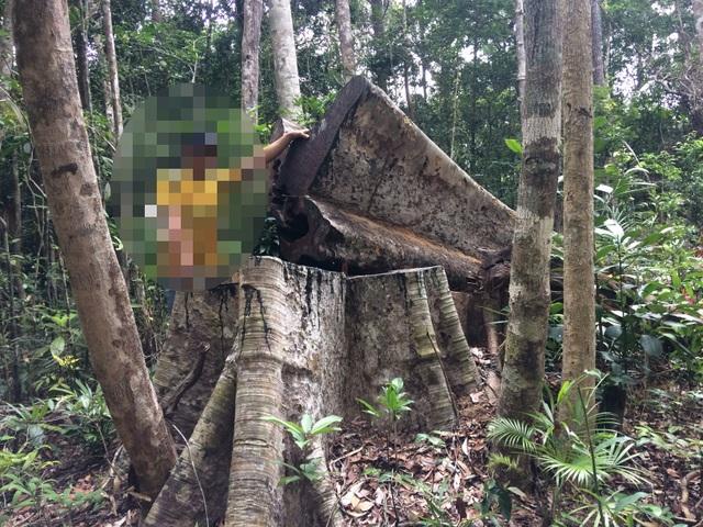 """Phát hiện vụ phá rừng """"khủng"""" với hơn 200 gốc bị đốn hạ - 1"""