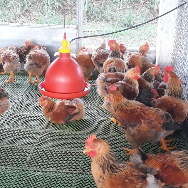 Mãn hạn tù về nuôi gà Trung Quốc, cứ bán 1 lứa lãi gần 50 triệu đồng - 2