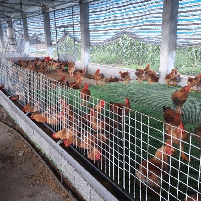 Mãn hạn tù về nuôi gà Trung Quốc, cứ bán 1 lứa lãi gần 50 triệu đồng - 5