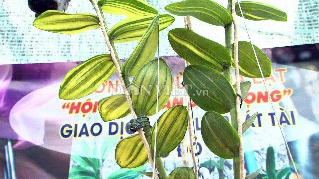 Hàng khủng Lâm Đồng: Chậu lan Giả hạc đột biến bán giá 5 tỷ đồng - 4